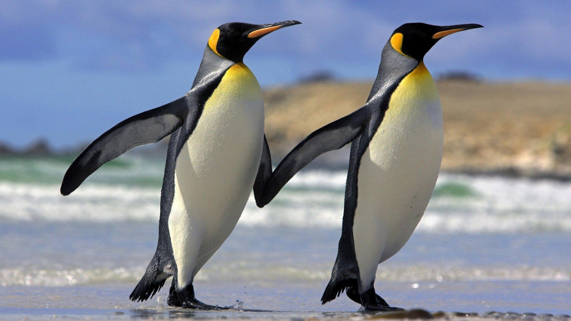 Two penguins running side by side with their wings outstretched so it looks almost like they are holding hands